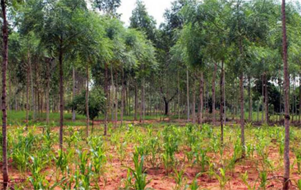 Maize intercropped with melia volkensii (mukau) trees