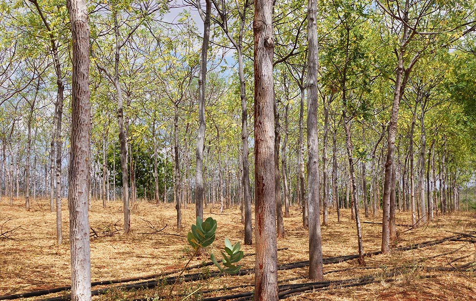 Mukau trees from Better Globe Forestry's plantation at Kiambere Lake, Kenya