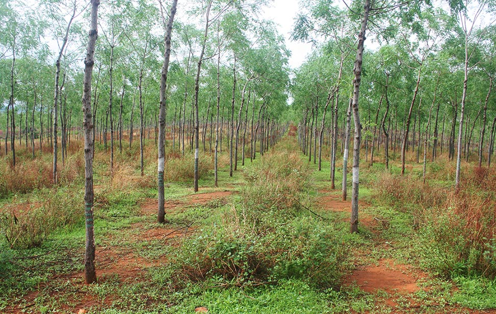 Mukau trees at Kiambere Site Plantation