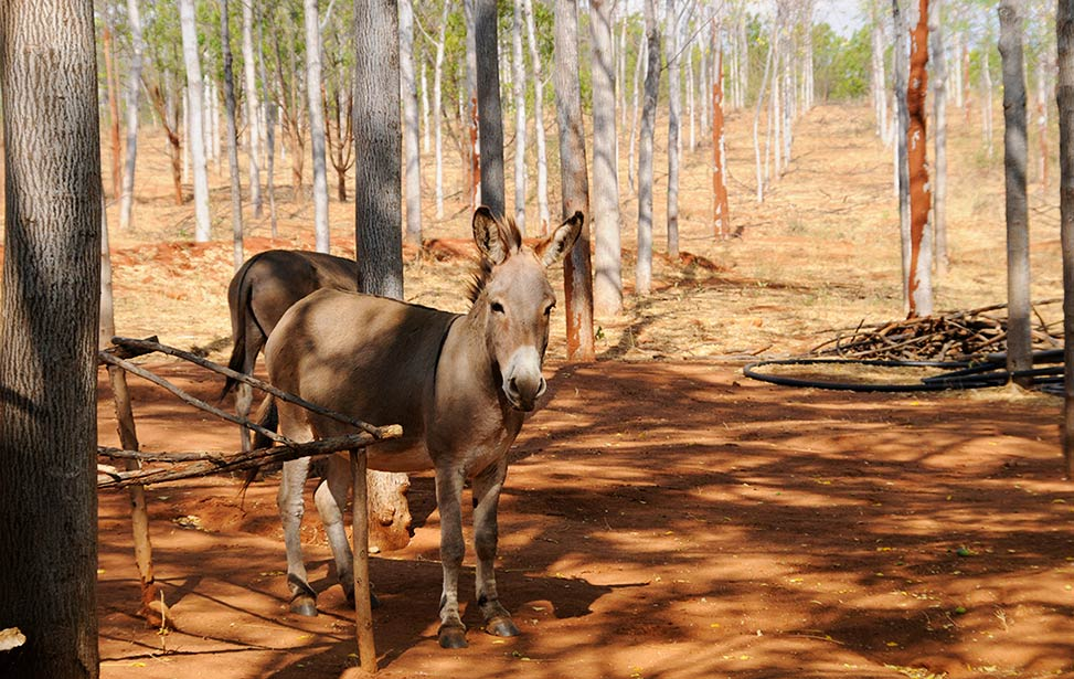 Donkeys grassing at Better Globe Forestry's plantation