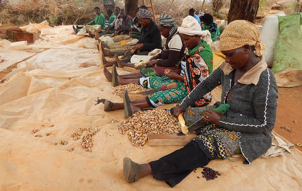 Female Better Globe Forestry workers cracking mukau nuts at Kiambere plantation