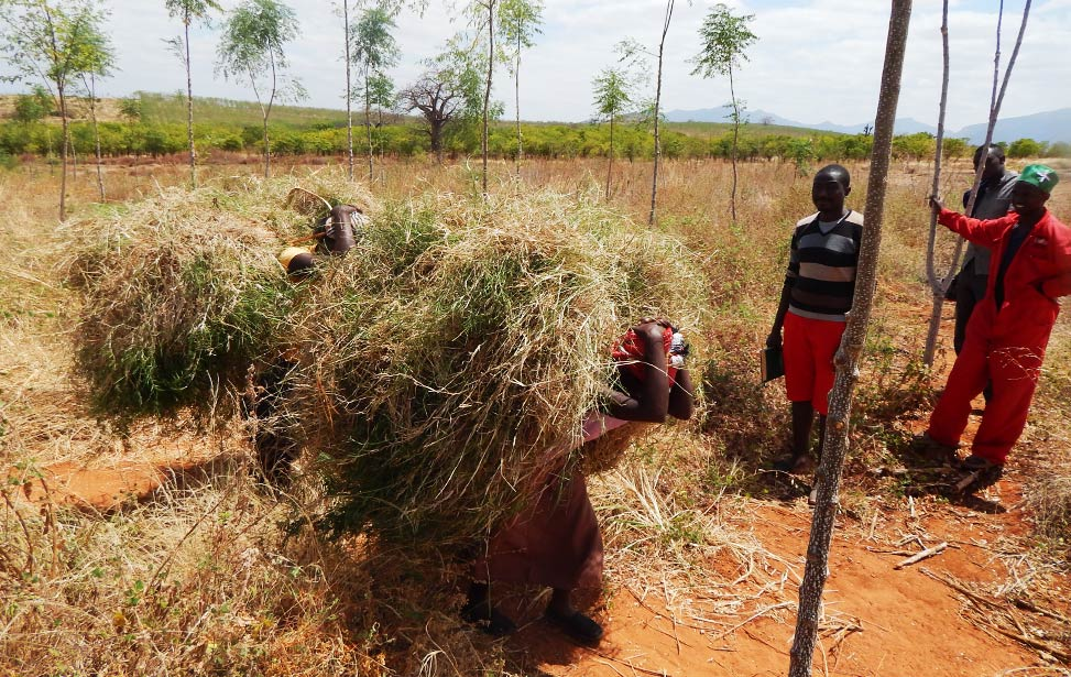 Locals getting grass from Better Globe Forestry's plantation