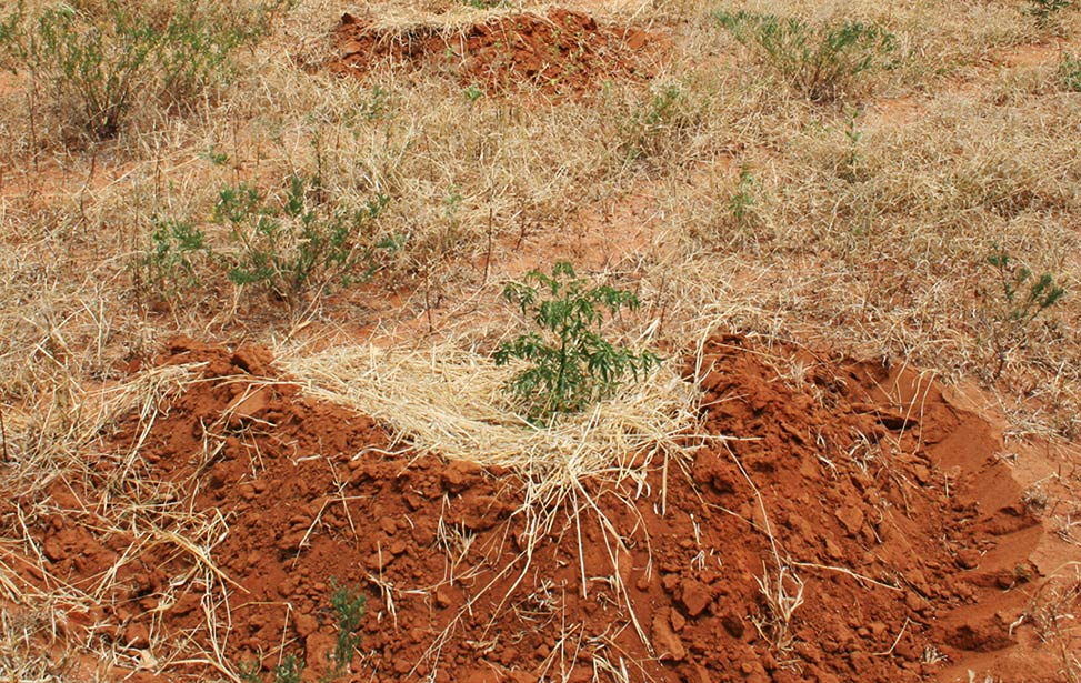 Mukau seedlings planted with grass and a half-moon shaped soil to retain water