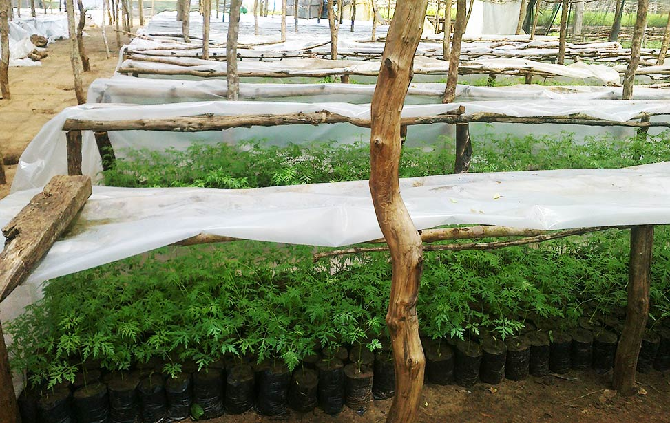 Mukau seedlings covered with plastic roof