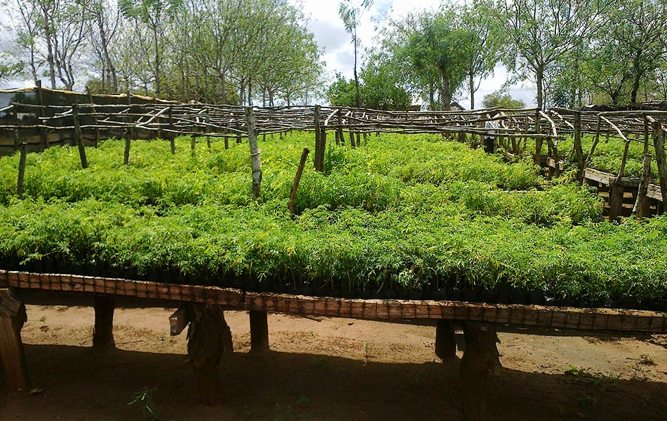 Mukau seedlings on raised bed at Nyongoro Planation
