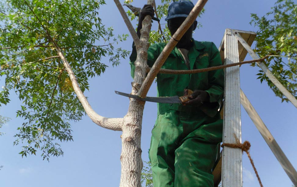 Pruning of a mukau tree