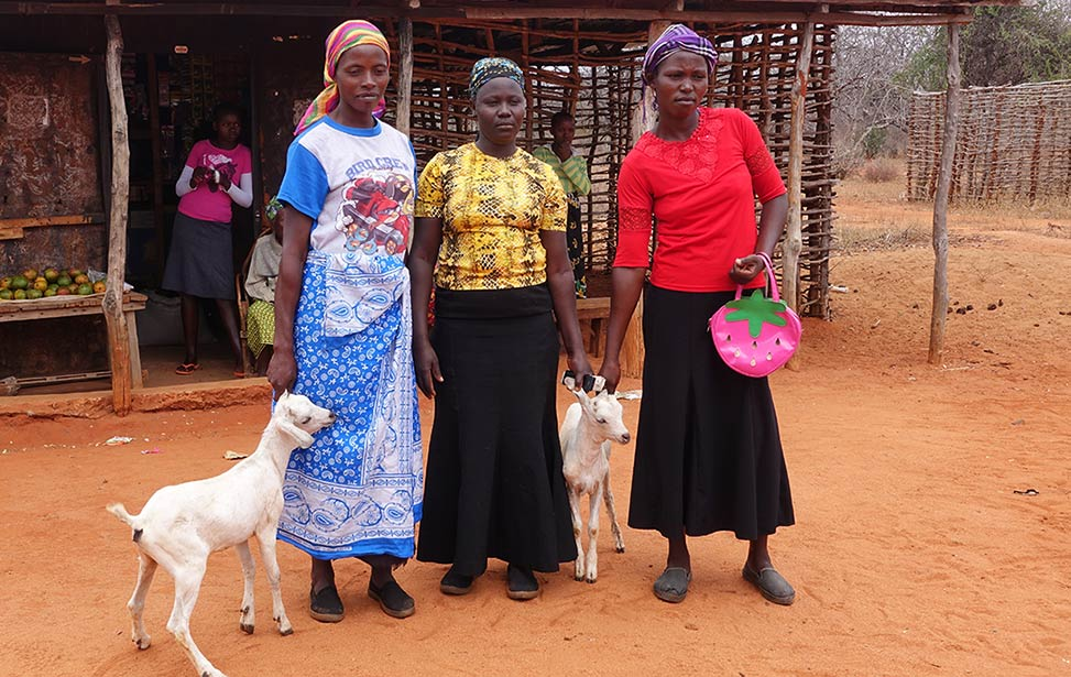 Goats financed by microfinance loans