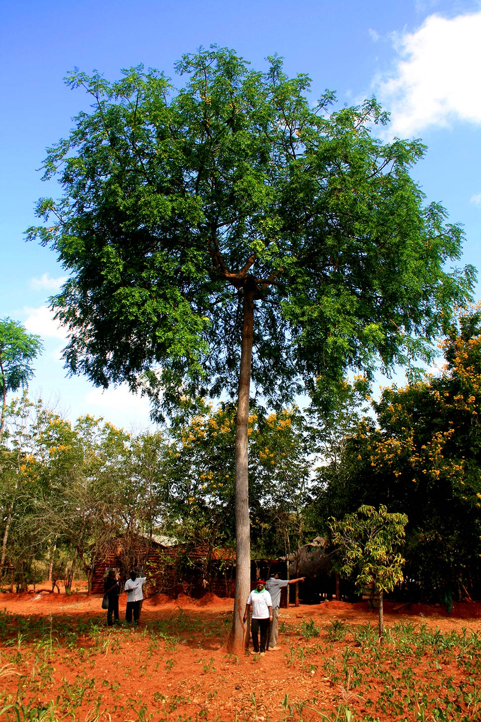 14 year old mukau tree