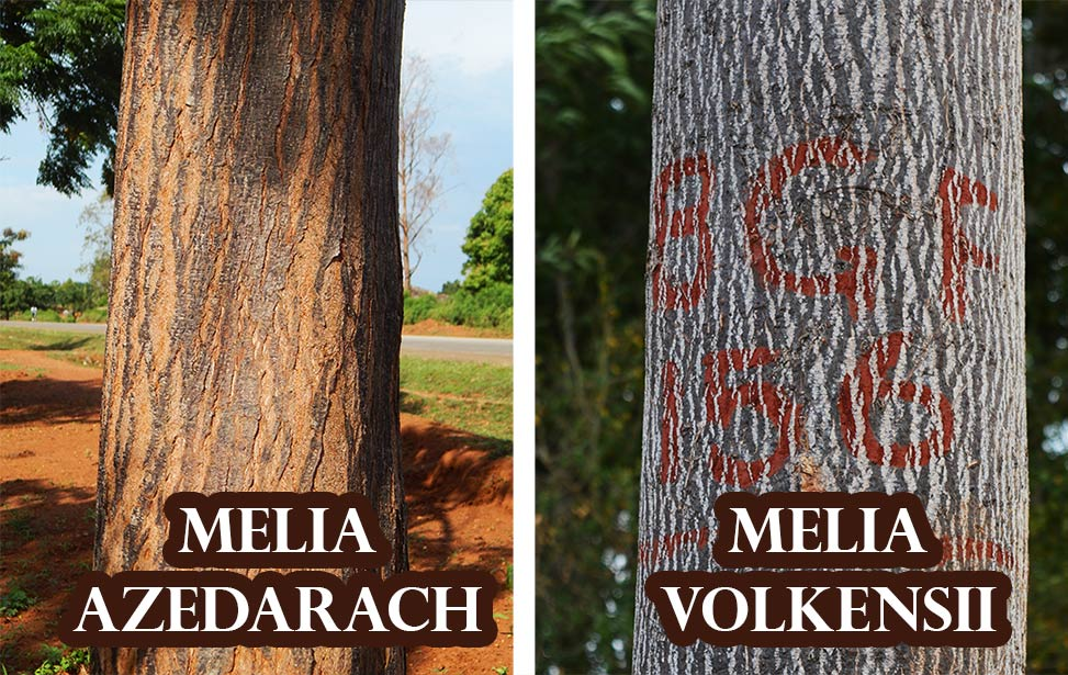 Melia azedarach grows in Uganda and Melia volkensii grows in Kenya