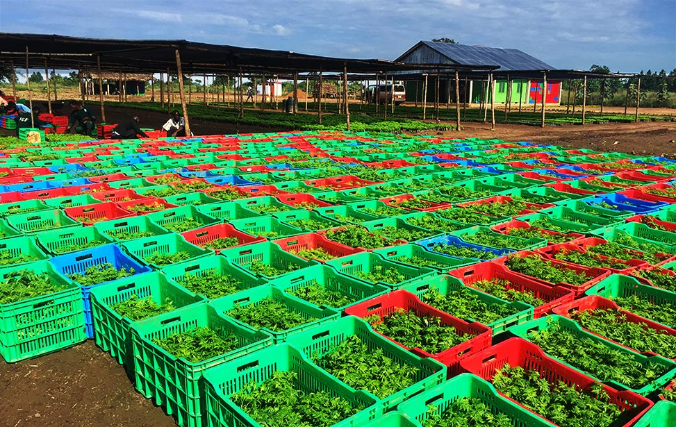 Tree seedlings packed in crates