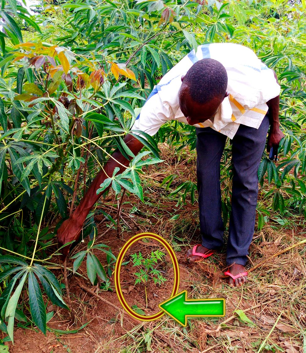 Intercropping tree seedlings with food crops