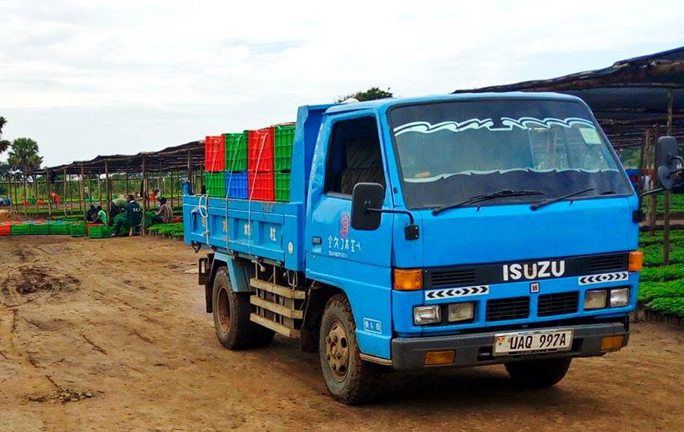 Transportation of Melia azedarach seedlings