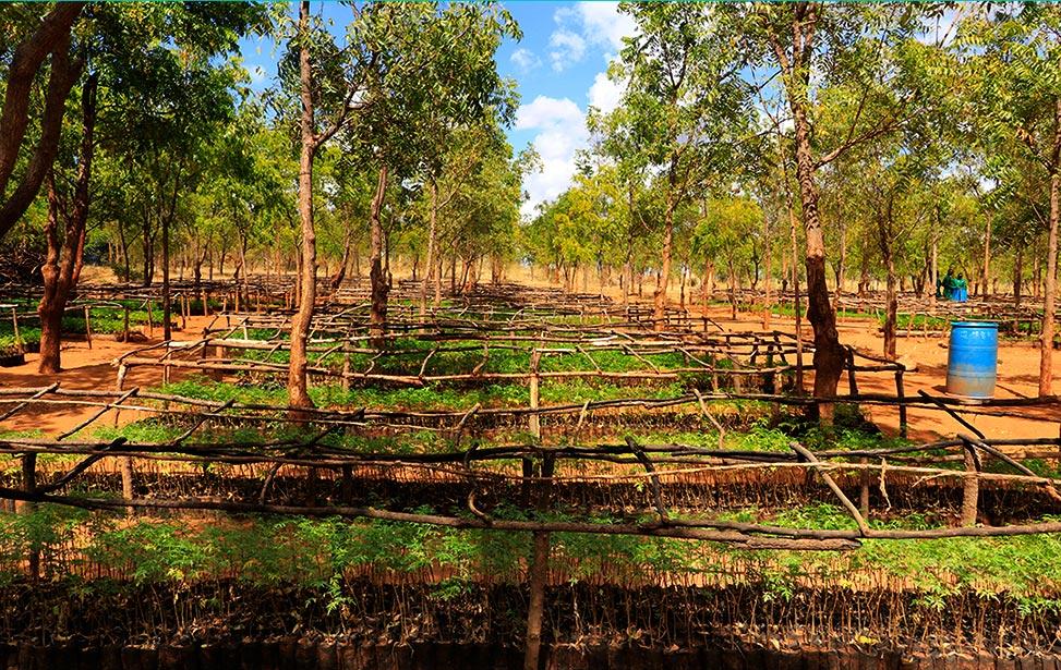 Kiambere Plantation