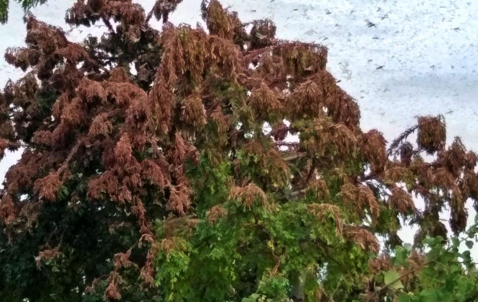 Locusts on trees