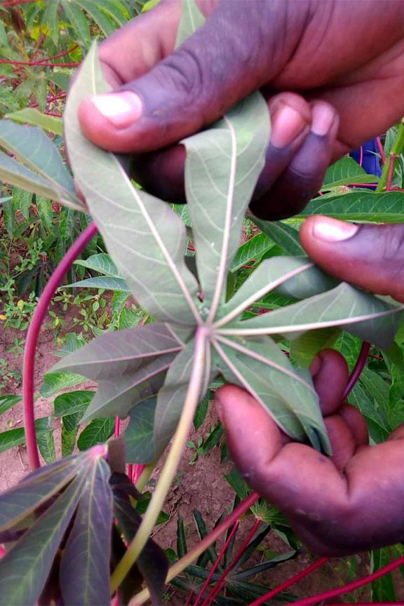 Cassava disease monitoring