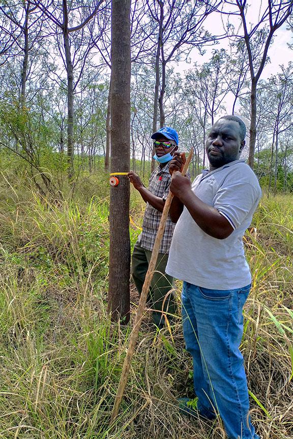 Staff measuring trees