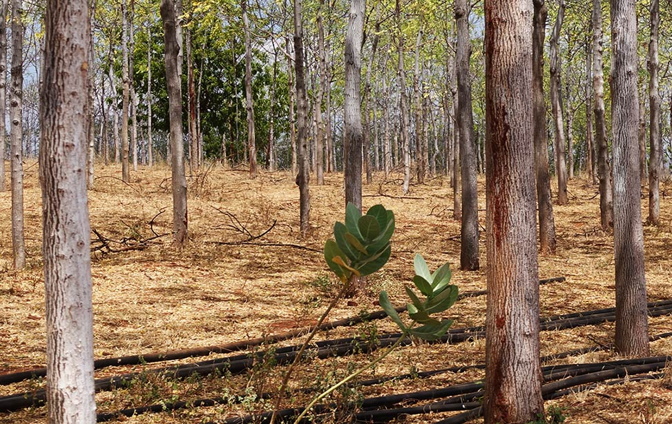 Planting process of mukau trees - part 2