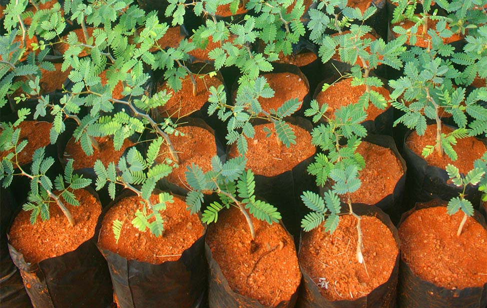 Acacia senegal, Better Globe Forestry's next key species