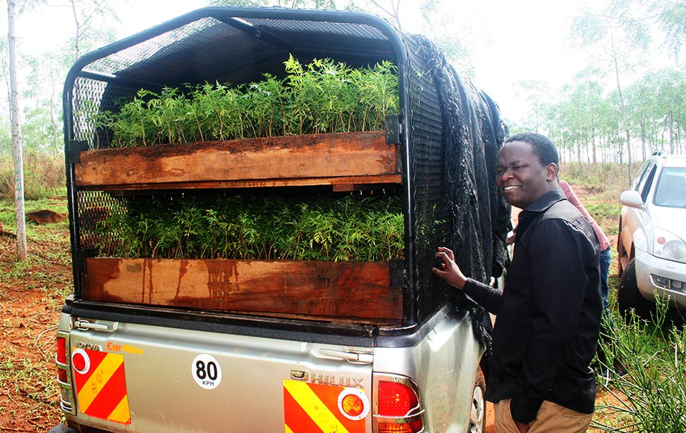 Pickup truck with tree seedlings