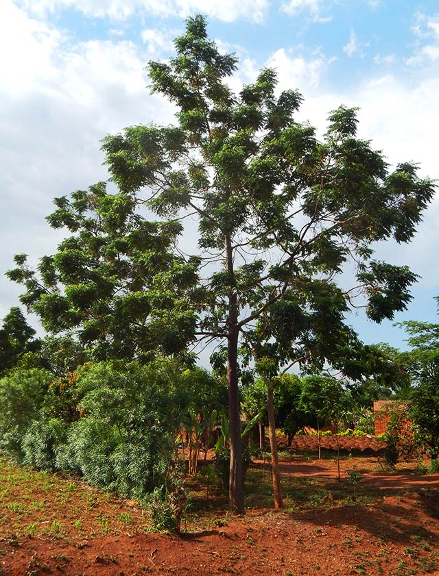 Melia Azedarach, the Persian Lilac or China berry, known as the Giant Lira in Uganda